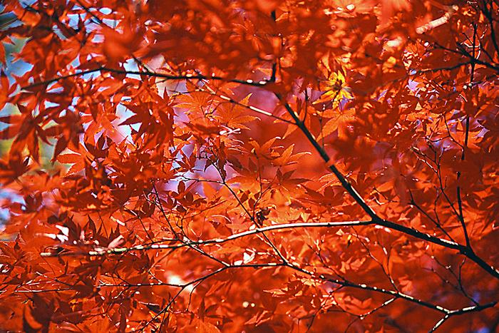 Maple Tree In Inokashira Park (Tokyo)