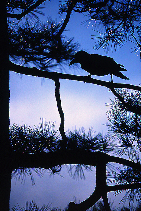 Silhoutte Of A Crow (Tokyo)