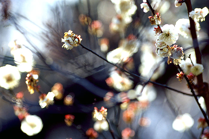 Japanese apricot in fower