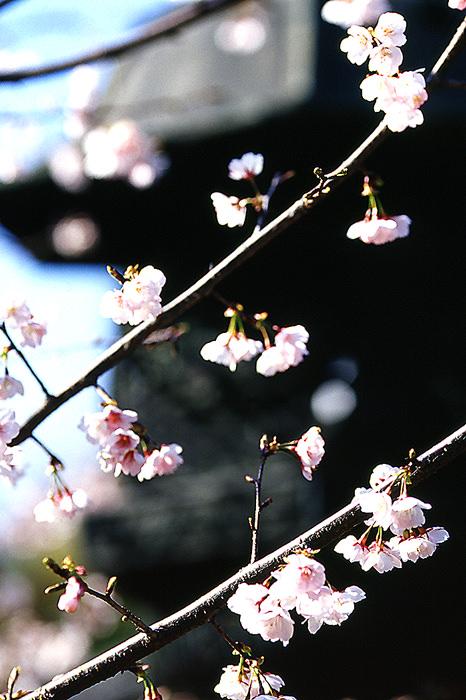 Cherry blossom and lantern in Ueno Toshogu