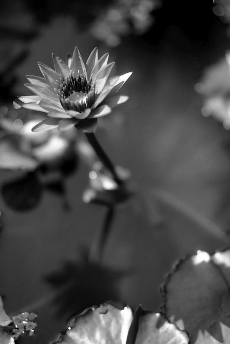 flower of lotus in jar