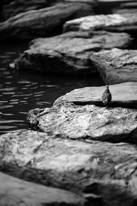 pigeon on steppingstones