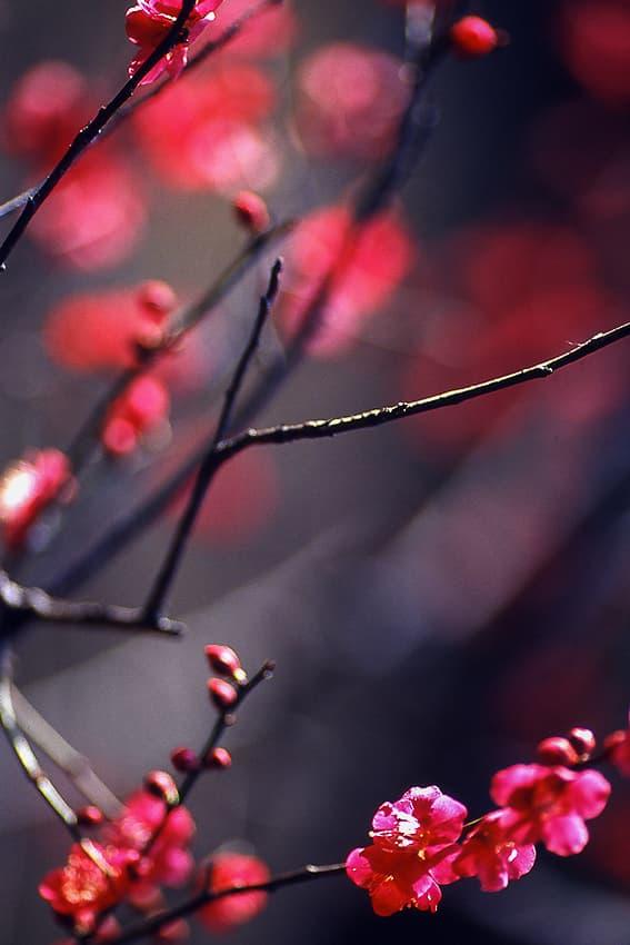 red Japanese plum