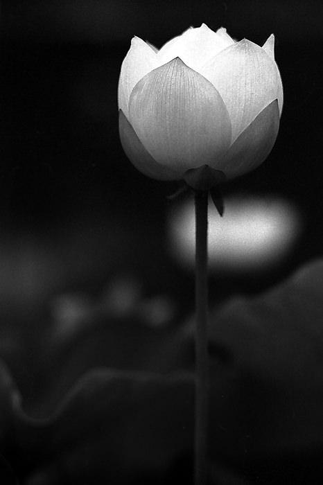 一輪の蓮の花