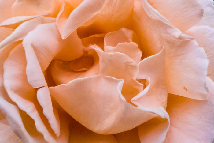 Closeup Of A Rose (Tokyo)