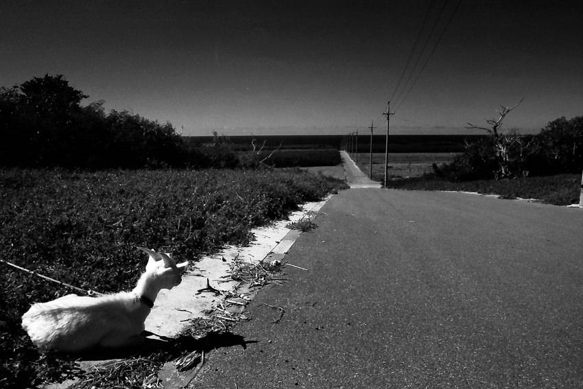 道の脇に座る山羊