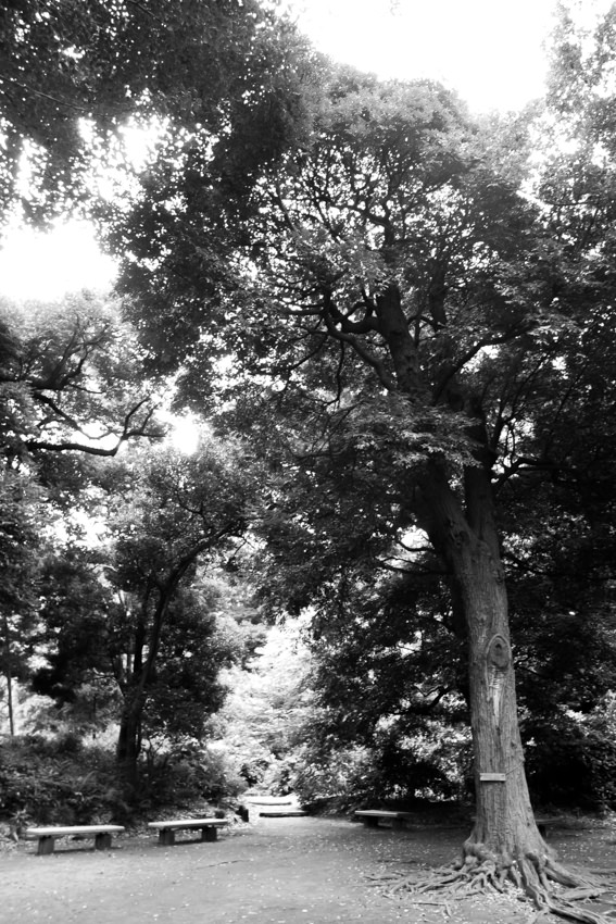 Tall tree and some benches in Rikugien garden
