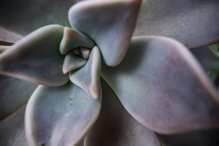 Close up of Echeveria