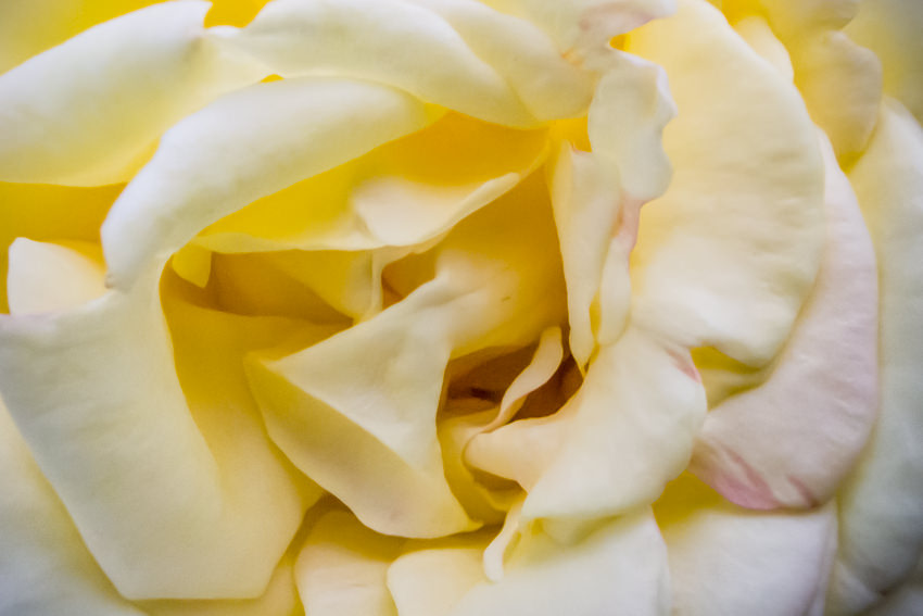 Petal of yellow rose