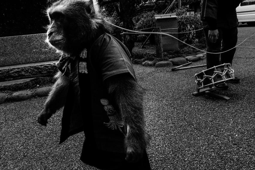 Leashed monkey walking