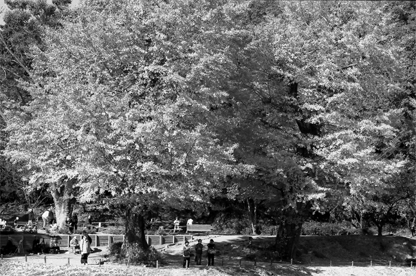 People Under The Ginkgo In Shomyo-ji (Kanagawa)