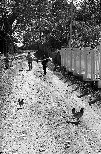Chickens Taking A Walk @ Laos