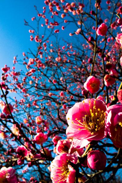Winter Cherry Blossom In Shinjuku Gyoen Park (Tokyo)