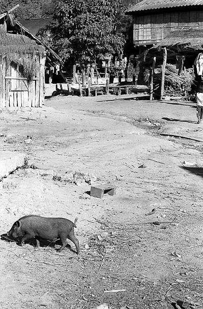 Razorback walking around village with freedom