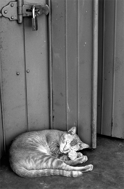 Sleeping Cat Curled Up (Sri Lanka)