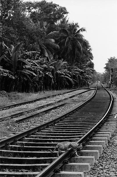 Cat Can't Get On The Train @ Sri Lanka