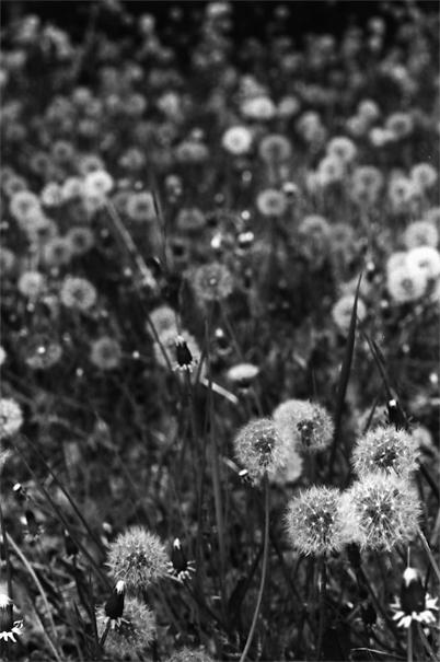 Dandelion puffs