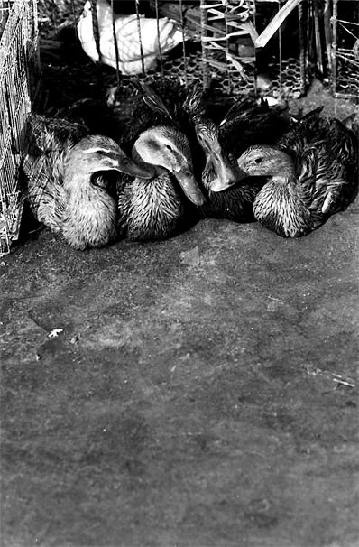店先に並べられた生きた鴨