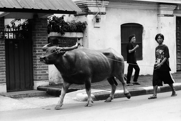 大きな水牛と一緒に散歩していた男