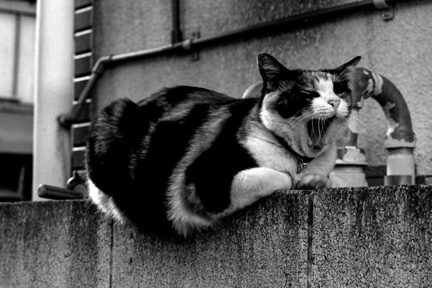 Cat gaping