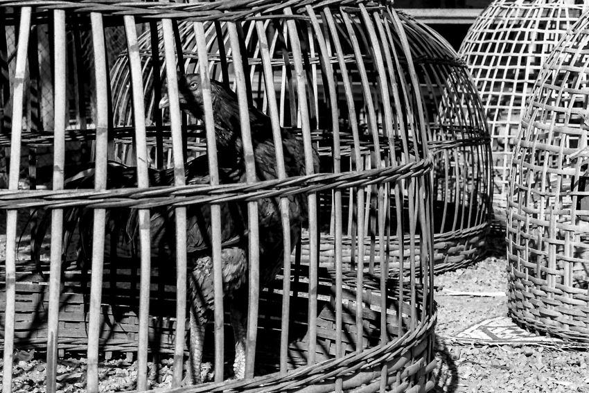 鳥籠の中の勇ましい雄鶏
