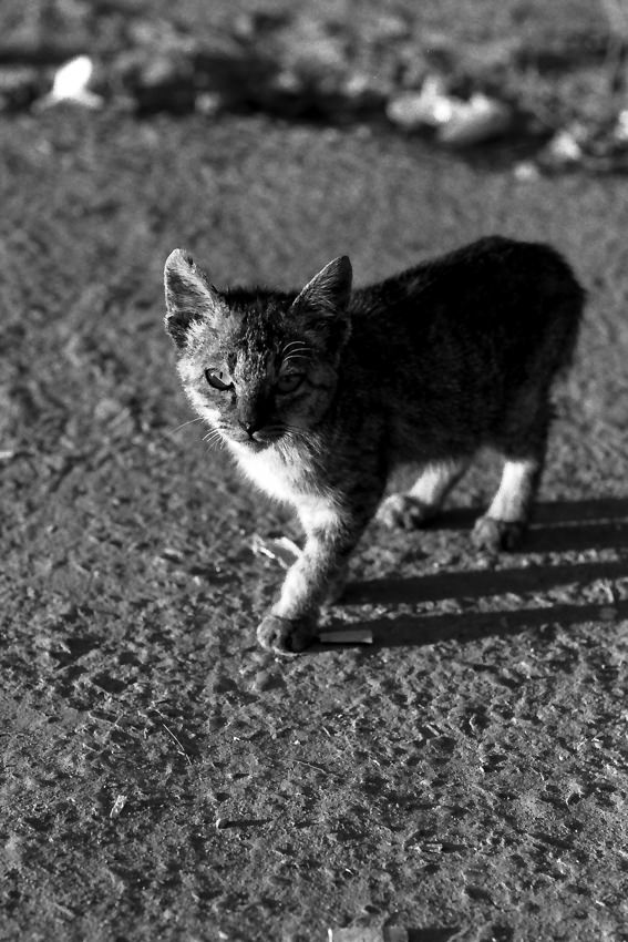 Cat walking with gimlet eyes