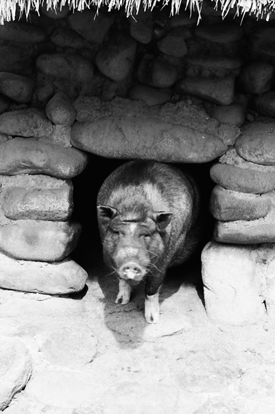 Pig At A Hole @ Philippines