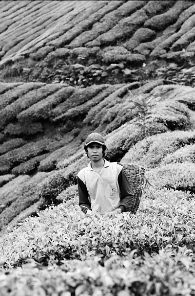 Young man picking tea leaves