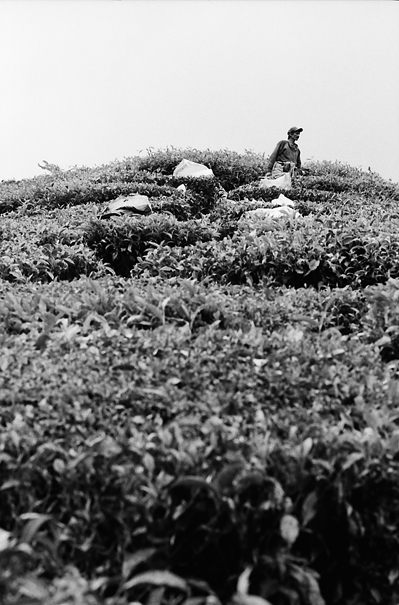 Top Of The Tea Field (Malaysia)