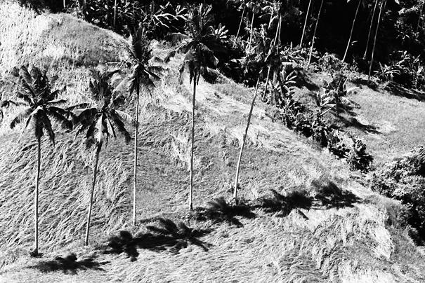 Coconut Trees (Indonesia)