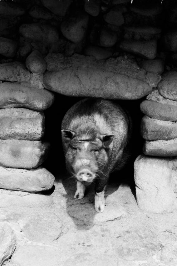 じっとカメラを見つめる豚