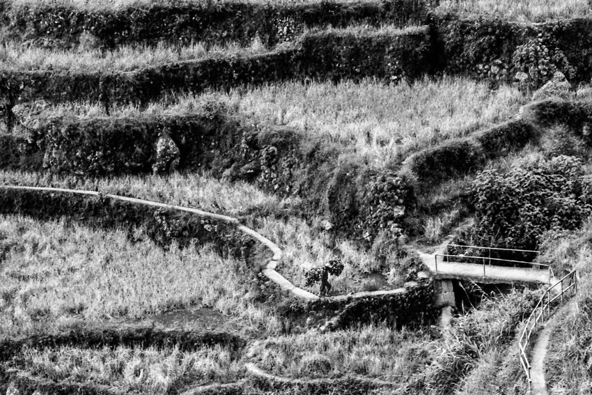 Man walking with carrying pole in the rice paddies