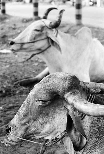 Leashed Cattle @ Bangladesh