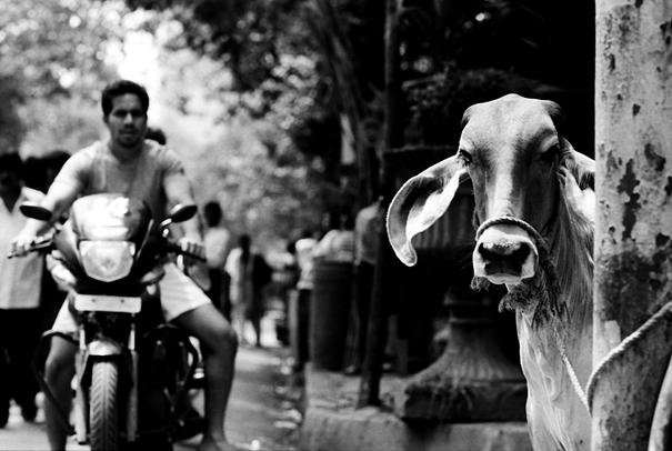Cow standing by roadside
