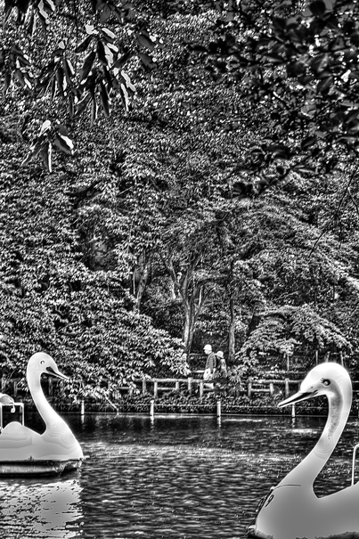 Two swan in pond