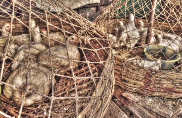Chickens in net