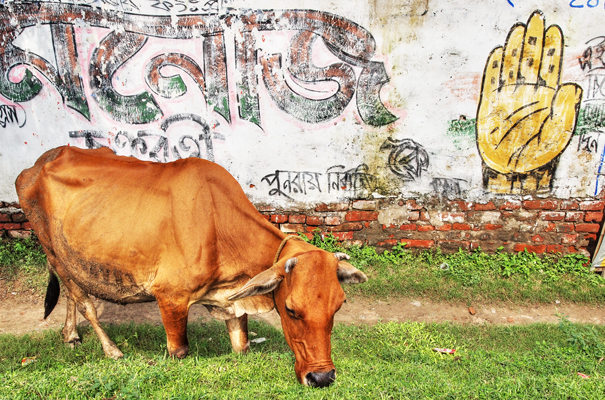 Cow And Palm (India)
