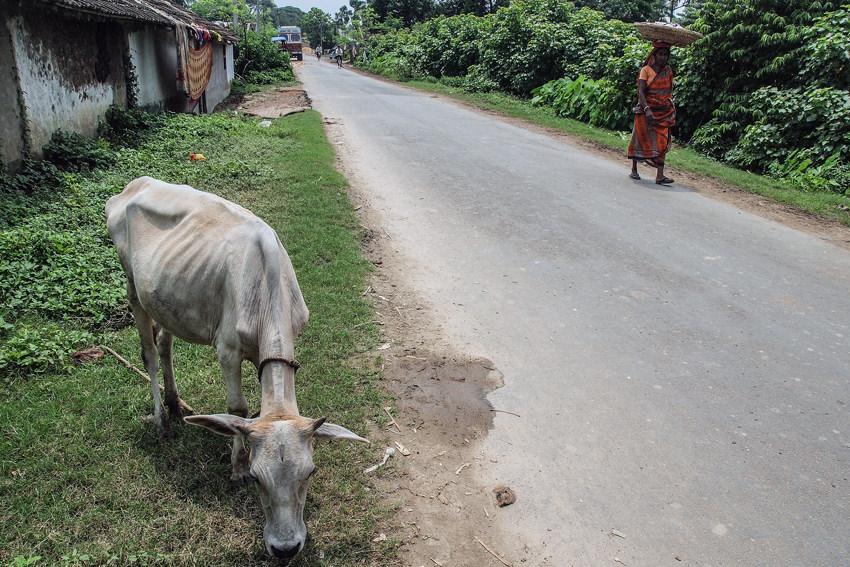 Scrag cow