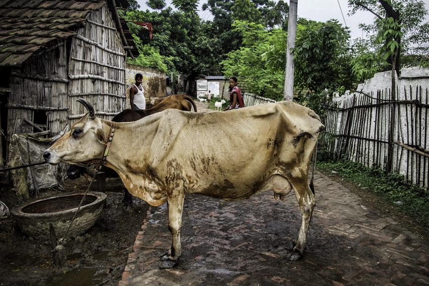立ちはだかる牛