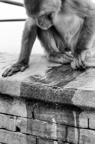Monkey In Swayambhunath @ Nepal