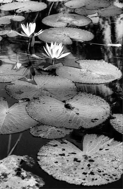 Lotus Flowers (Laos)