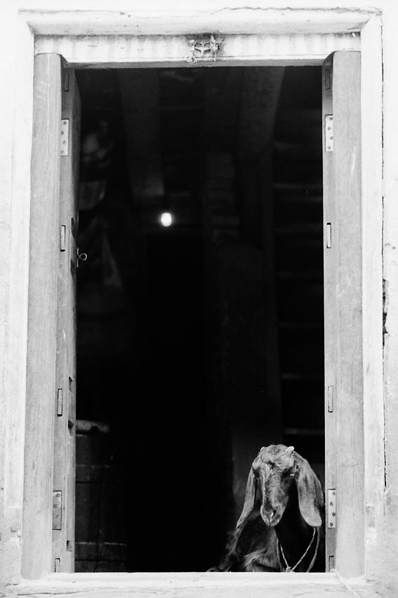 玄関先の山羊