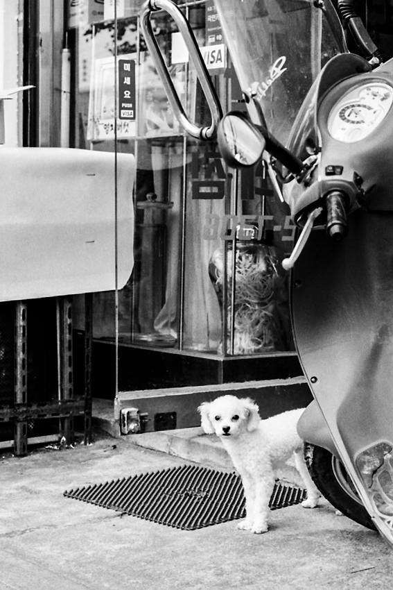 Toy poodle behind motorbike
