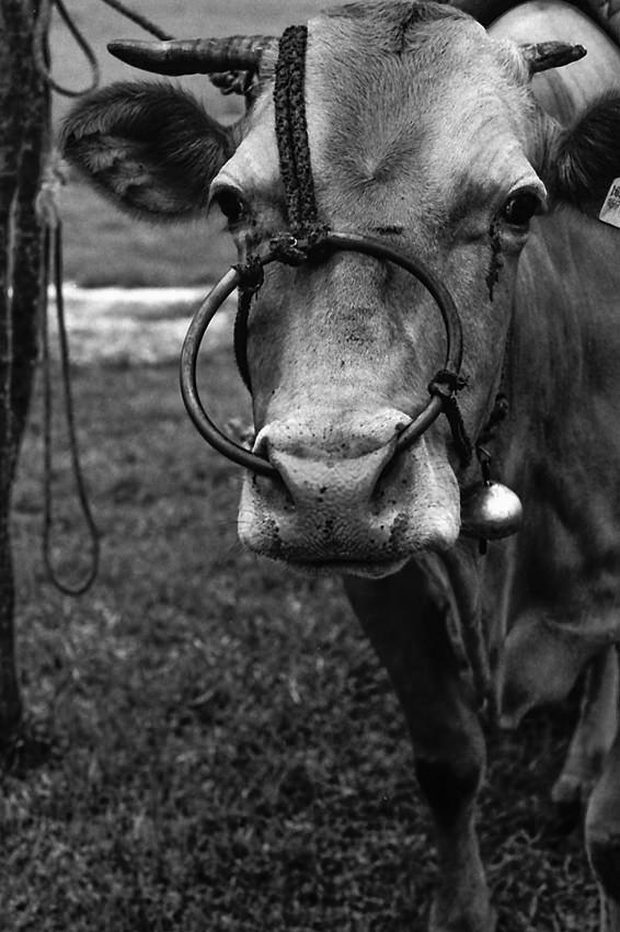 大きな輪をしら牛