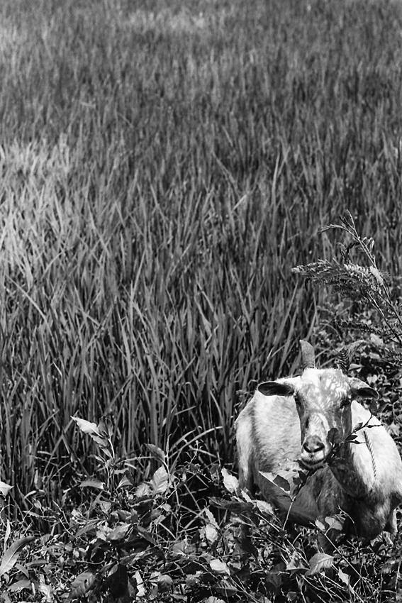 草叢の中の山羊