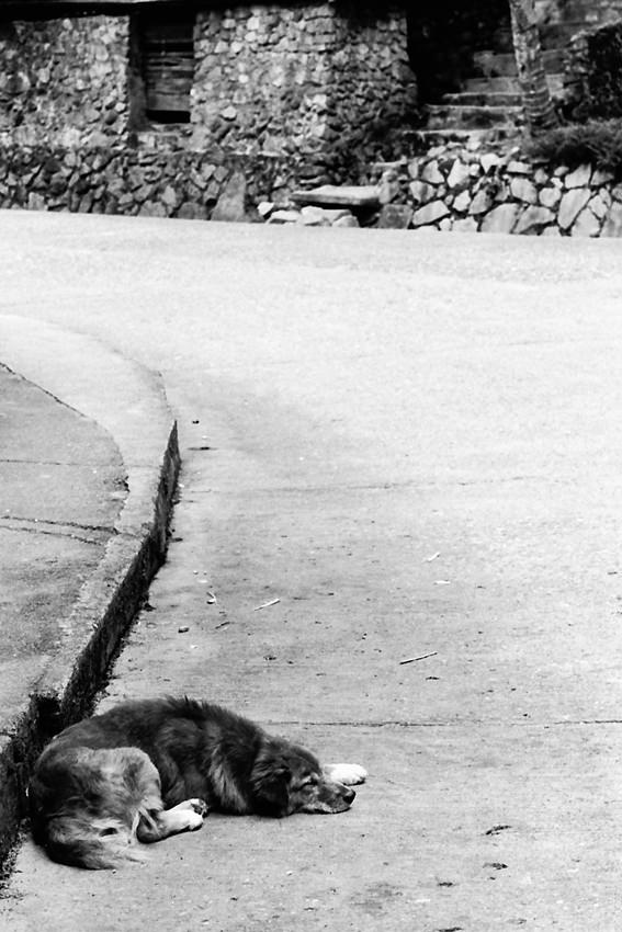 道端で昼寝する犬