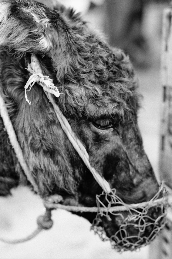 Donkey with bridle