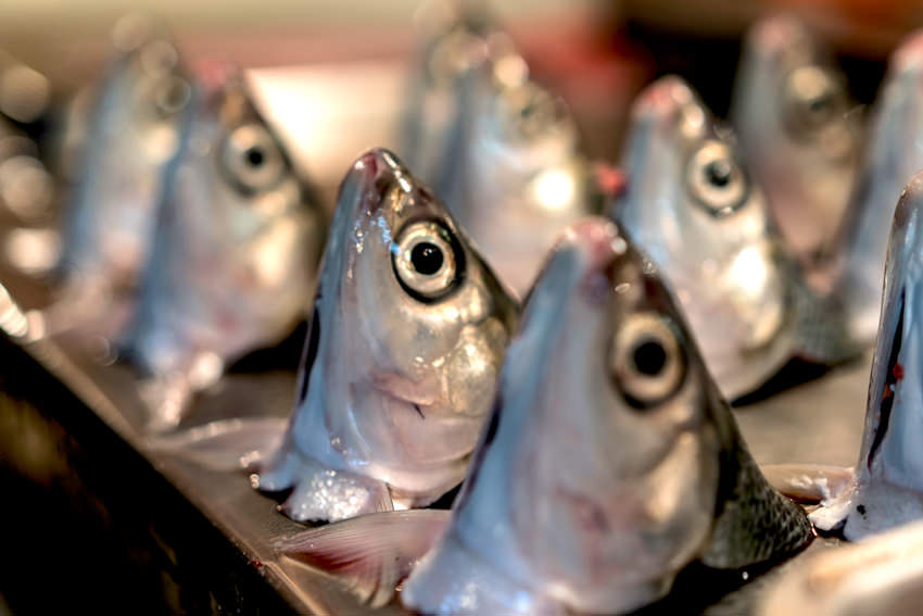 Displayed heads of milkfish