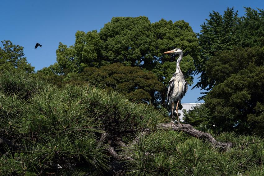 木の上の白鷺