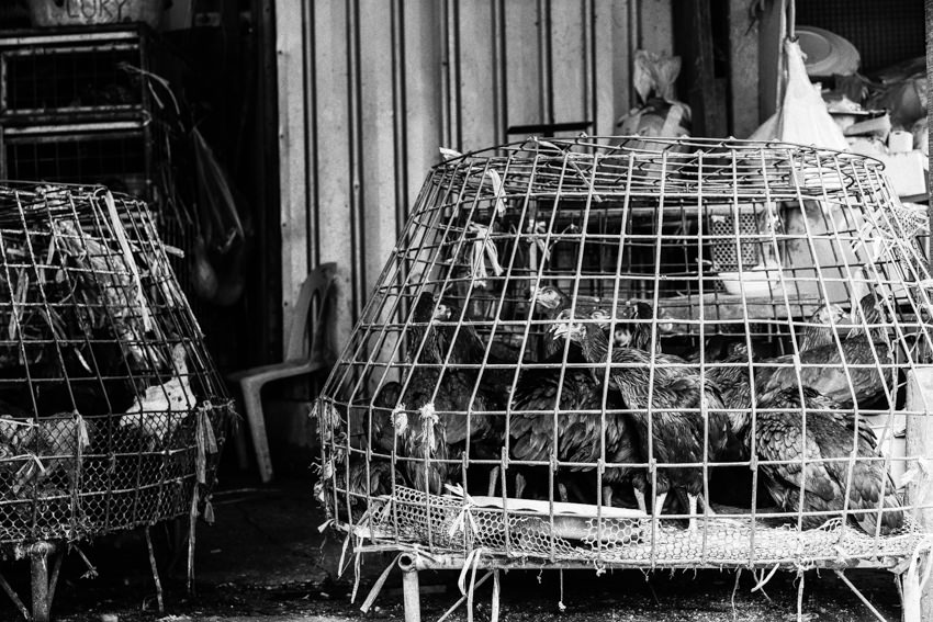 Chickens in big cage